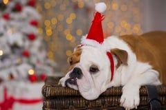 尾随品种英国牛头犬在圣诞节新年树下坐接近礼物愉快微笑的篮子 图库摄影