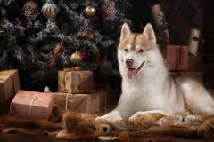 尾随品种西伯利亚爱斯基摩人、画象狗在演播室颜色背景,圣诞节和新年 库存照片
