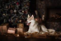 尾随品种西伯利亚爱斯基摩人、画象狗在演播室颜色背景,圣诞节和新年 库存图片