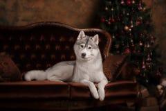 尾随品种西伯利亚爱斯基摩人、画象狗在演播室颜色背景,圣诞节和新年 免版税库存图片