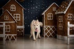 尾随品种西伯利亚爱斯基摩人、画象狗在演播室颜色背景,圣诞节和新年 图库摄影