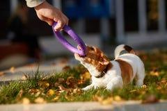 尾随品种起重器使用在秋天公园的罗素狗 免版税库存图片