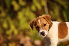 尾随品种起重器使用在秋天公园的罗素狗 库存照片