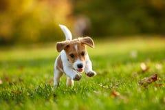 尾随品种起重器使用在秋天公园的罗素狗 免版税库存照片