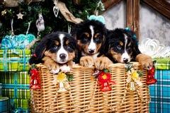 尾随品种Bernese山小狗、圣诞节和新年 库存图片