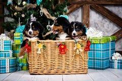 尾随品种Bernese山小狗、圣诞节和新年 库存照片