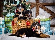 尾随品种Bernese山小狗、圣诞节和新年 免版税库存图片