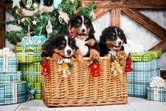 尾随品种Bernese山小狗、圣诞节和新年 免版税库存照片