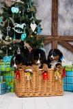 尾随品种Bernese山小狗、圣诞节和新年 免版税图库摄影