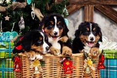 尾随品种Bernese山小狗、圣诞节和新年 图库摄影