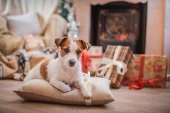 尾随圣诞节,新年,杰克罗素狗 库存照片