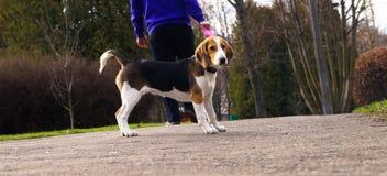尾随在一条皮带的小猎犬与它的所有者的步行的 免版税库存照片