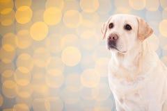 尾随在圣诞节背景的金毛猎犬与光 免版税库存照片