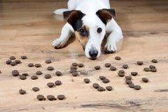 尾随在地板上的杰克罗素用许多pieses等待fo的食物开始吃 免版税库存图片