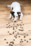 尾随在地板上的杰克罗素用许多pieses等待fo的食物开始吃 图库摄影
