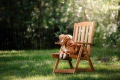 尾随在庭院里的新斯科舍鸭子敲的猎犬 免版税库存图片