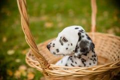 尾随在步行美丽的画象的品种达尔马提亚狗 达尔马希亚小狗在秋季的一个草甸 秋天时间 敬慕 免版税图库摄影