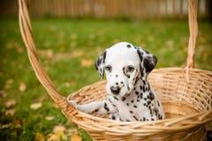 尾随在步行美丽的画象的品种达尔马提亚狗 达尔马希亚小狗在秋季的一个草甸 秋天时间 敬慕 图库摄影