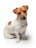 尾随在白色背景的小狗 插孔罗素狗 免版税库存图片