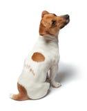 尾随在白色背景的小狗 插孔罗素狗 图库摄影