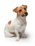 尾随在白色背景的小狗 插孔罗素狗 库存图片