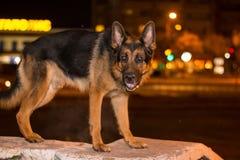 尾随在街道上的德国牧羊犬在晚上时间 库存照片