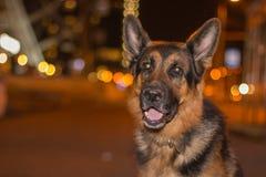 尾随在街道上的德国牧羊犬在晚上时间 免版税库存图片