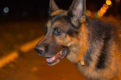 尾随在街道上的德国牧羊犬在晚上时间 免版税图库摄影