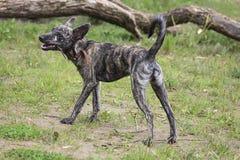 尾随大xolo xoloitzcuintli,在一个草甸的身分用在他的牙的一根棍子 免版税库存图片