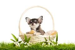 尾随奇瓦瓦狗在被隔绝的篮子坐白色背景花 图库摄影