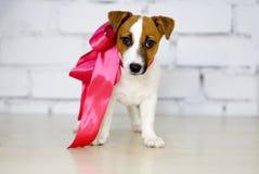 尾随小狗和桃红色弓在一个白色砖墙前面 免版税库存照片
