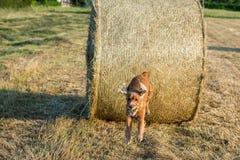 尾随小狗跳跃从麦子球的猎犬 库存照片