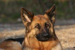 尾随德国牧羊犬 免版税库存图片