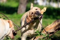 尾随拉布拉多猎犬二 免版税库存图片