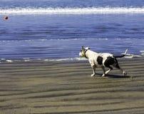 拿来球的狗。 免版税库存照片