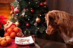 尾随新斯科舍鸭子敲的猎犬、圣诞节和新年,在演播室颜色背景的画象狗 免版税图库摄影