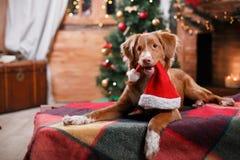 尾随新斯科舍鸭子敲的猎犬假日,圣诞节 免版税库存照片