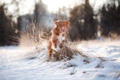 尾随新斯科舍鸭子敲的猎犬户外在冬天心情 库存图片