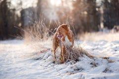 尾随新斯科舍鸭子敲的猎犬户外在冬天心情 免版税库存图片
