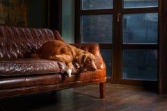 尾随新斯科舍鸭子敲的猎犬,在演播室颜色背景的画象 图库摄影