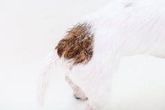 尾随有洗涤在阵雨下的逗人喜爱的棕色污点的尾巴 免版税图库摄影