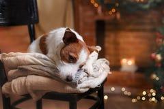尾随杰克罗素在演播室背景的狗画象 库存照片