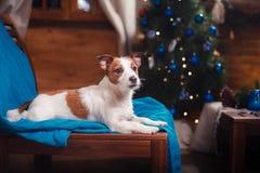 尾随杰克罗素在演播室背景的狗画象 图库摄影