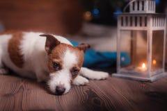 尾随杰克罗素在演播室背景的狗画象 免版税图库摄影
