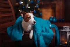 尾随杰克罗素在演播室背景的狗画象 免版税库存照片