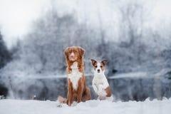 尾随杰克罗素狗和新斯科舍鸭子敲的猎犬户外 免版税库存照片