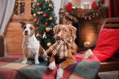 尾随杰克罗素狗并且尾随新斯科舍鸭子敲的猎犬假日,圣诞节 免版税库存图片