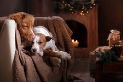 尾随杰克罗素狗并且尾随新斯科舍鸭子敲的猎犬假日 免版税库存照片
