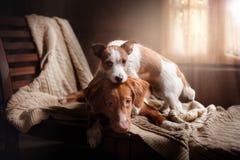 尾随杰克罗素狗并且尾随新斯科舍鸭子敲的猎犬假日 图库摄影