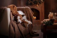 尾随杰克罗素狗并且尾随新斯科舍鸭子敲的猎犬假日 库存照片